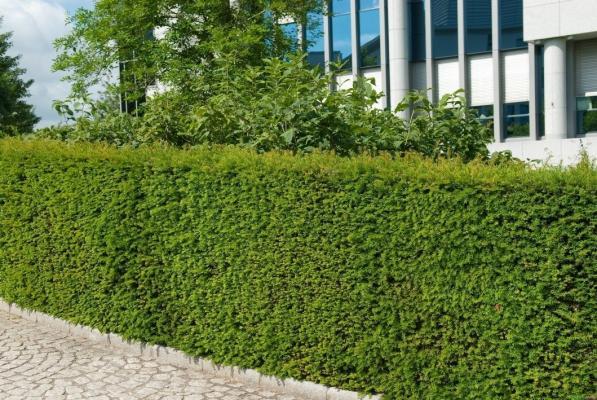 Lebensbaum Thuja occ Brabant