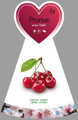 Süßkirsche 'Stella' / selbstfruchtend' Prunus avium