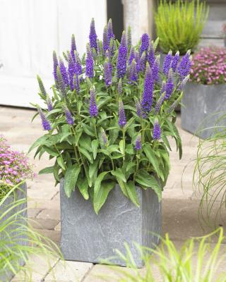 Ehrenpreis Veronica  - spicata 'Blue Carpet'