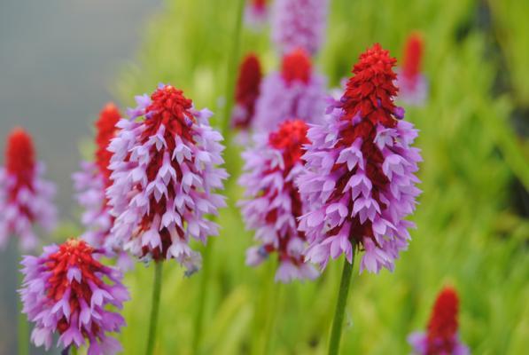 Orchideenprimel,violett Primula vialii