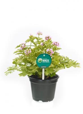 3 er Set Duftgeranie Minzduft Pelargonium crispum