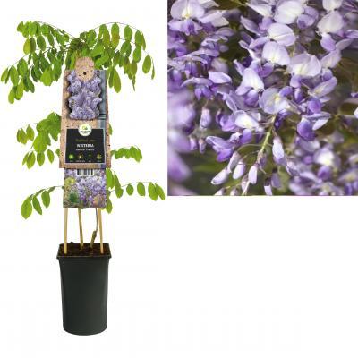 Actinidia  sinensis 'Prolific'