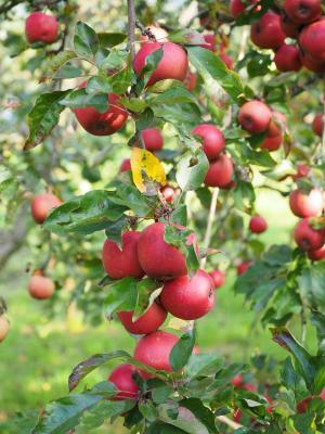 Apfelbaum 'Roter Boskoop' Malus