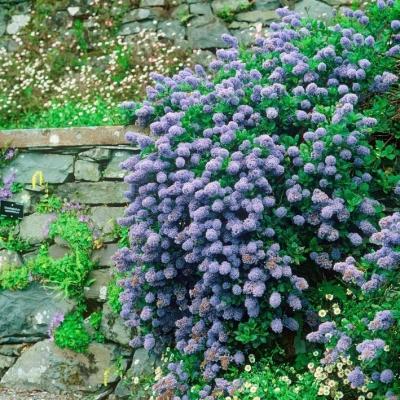 Blaue Säckelblume - Ceanothus delilianus