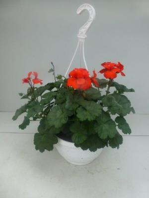 Pelargonium peltatum Ampel Caliente In Farben