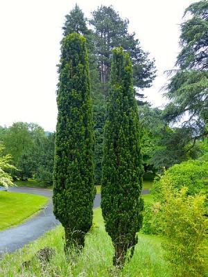 Schmale Säuleneibe - Taxus b. 'Fastigiata Robusta' 80 - 100 cm