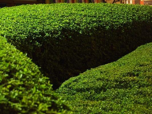 Buchsbaum Buxus sempervirens Heckenpflanze