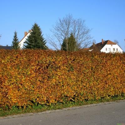 Rotbuche Hecke - Fagus sylvatica