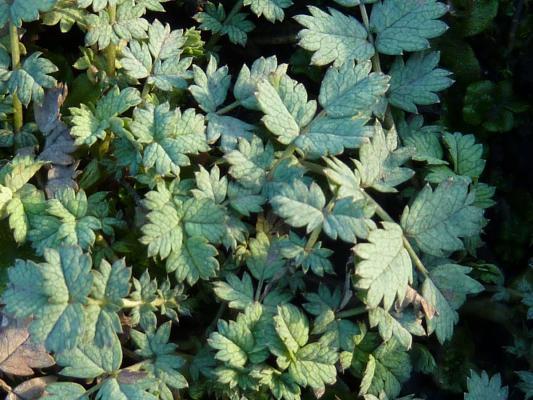 Blaugrünes Stachelnüßchen - Acaena buchananii