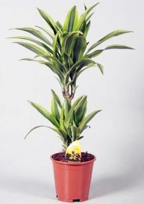 Drachenbaum 'Lemon Lime' - Dracaena fragrans