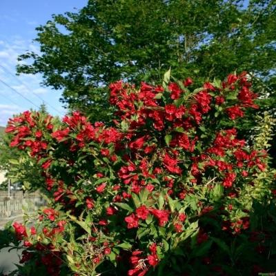 Weigelie 'Red Prince' - Weigela
