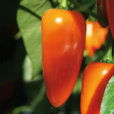 Snack-Paprika 'Lubega® Mini Orange'