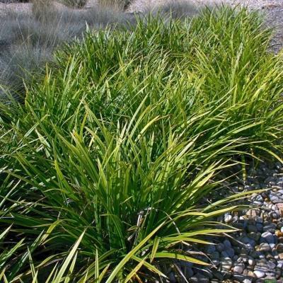 Carex  ( Segge ) - morrowii 'Variegata'