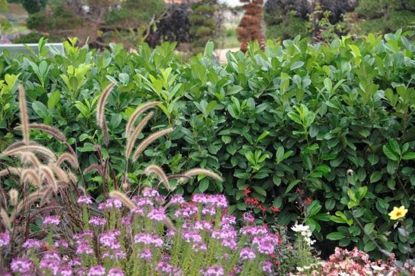 Portugiesischer Kirschlorbeer - Prunus lusitanica 'Angustifolia'