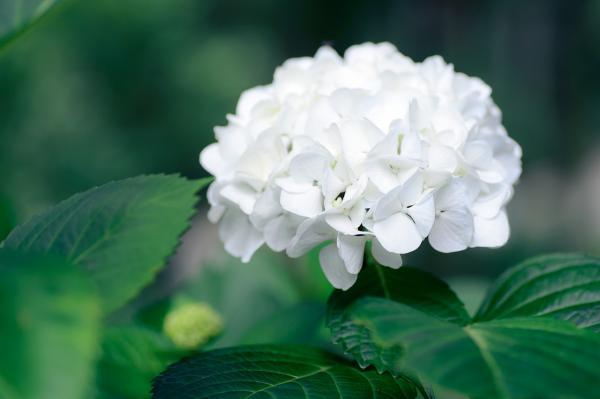 Bauernhortensie  'Snowball' - Hydrangea macrophylla
