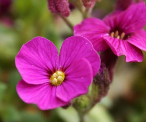 Blaukissen Aubrieta - x cultorum 'Bressingham Red'