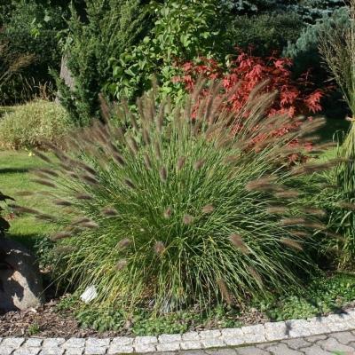 Pennisetum ( Lampenputzergras ) - alopecuroides 'Weserbergland'