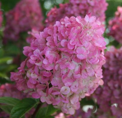 Rispenhortensie 'Sundae Fraise' ® - Hydrangea paniculata