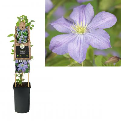 Clematis 'Prince Charles'