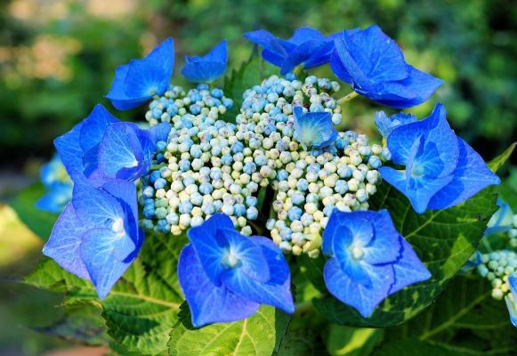 Tellerhortensie Blue Sky - Hydrangea macrophylla