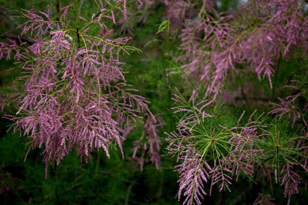 Frühlings-Tamariske - Tamarix ramosissima 'Rubra'