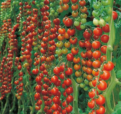 Cherrytomate 'Sanvitos® veredelt