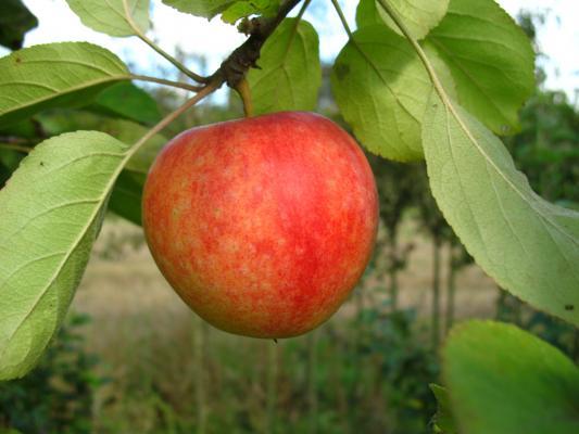 Apfelbaum - Cox Orange  M 26