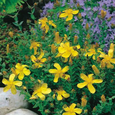 Johanniskraut Hypericum - polyphyllum