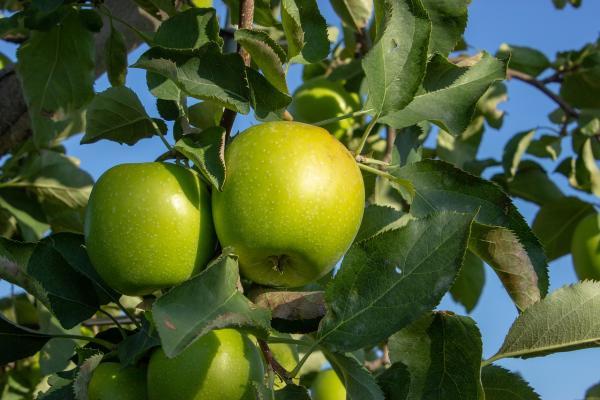 Apfelbaum 'Granny Smith' Malus