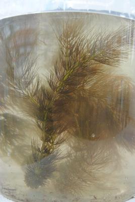 Hornkraut Ceratophyllum demersum