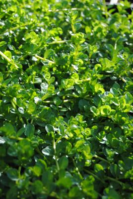 rundblättrige Rotala rotundifolia green