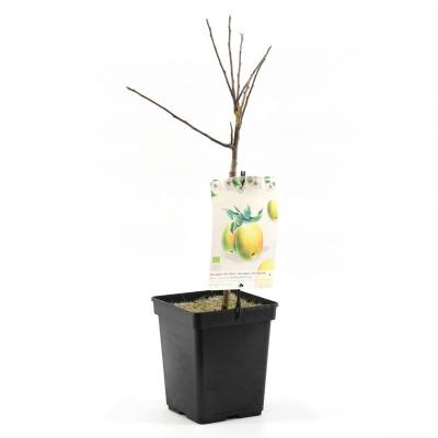 Terrassen Bio Apfelbaum - Golden Delicious