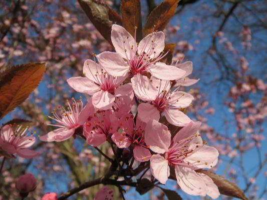Blutpflaume 'Nigra' - Prunus cerasifera 'Nigra'