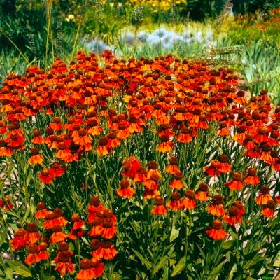 Sonnenbraut Helenium - x cult. 'Moerheim Beauty' **