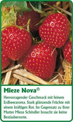Erdbeerpflanze - 12 Stück Mieze Nova Fragaria ananassa