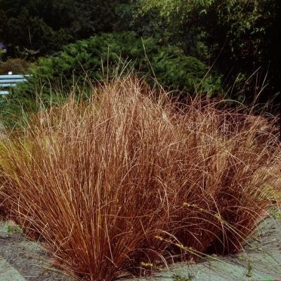 Carex  ( Segge ) - buchananii