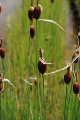 Zwerg Rohrkolben Typha minima