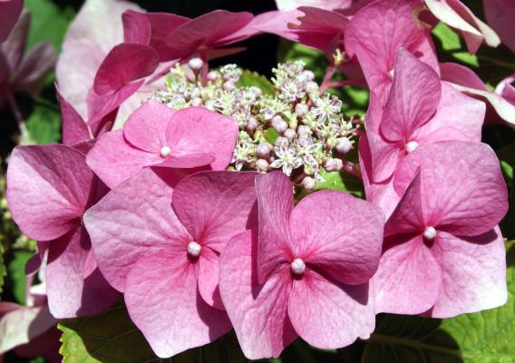 Tellerhortensie 'Mariesii Perfecta' - Hydrangea macrophylla