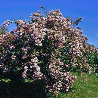 Kolkwitzie - Perlmuttstrauch - Kolkwitzia amabilis