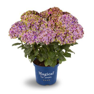 Magical Coral® Hortensie