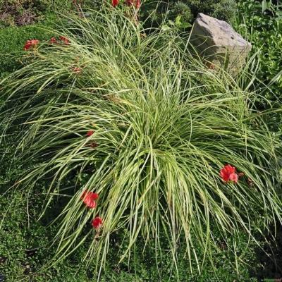 Carex  ( Segge ) - oshimensis 'Evergold'