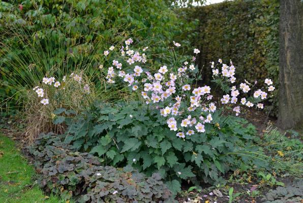 Anemone - hupehensis 'Septembercharme'