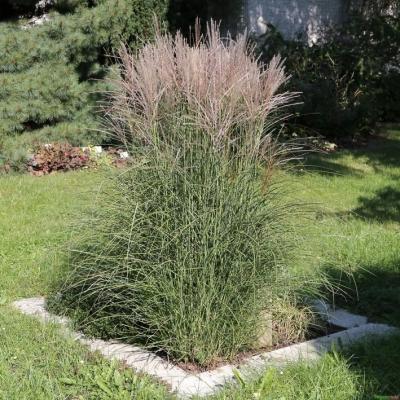 Miscanthus ( Chinaschilf ) - sinensis 'Graziella'