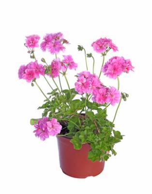 3 er Set Geranie lila halbstehend gefüllt Pelargonium grandiflorum