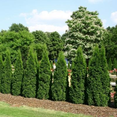 Lebensbaum Thuja Säule Smaragd