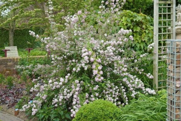Deutzie 'Mont Rose' - Deutzia Hybride