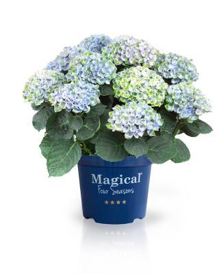 Magical Revolution® blue Hortensie