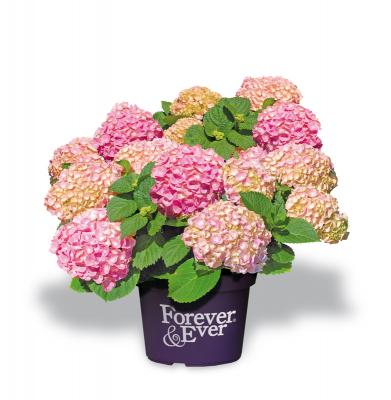 Forever and Ever® Pink Hortensie