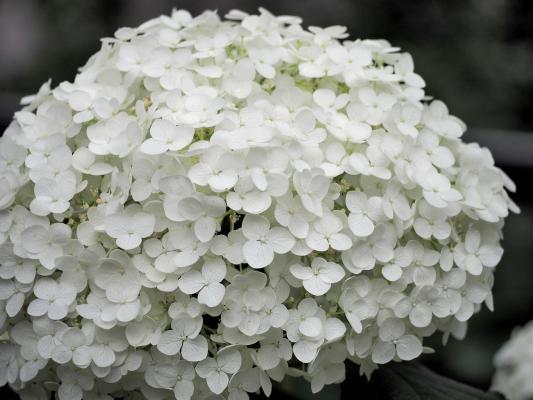 Hortensie - Endless Summer® weiß The Bride