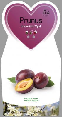 Pflaume 'Opal' Prunus